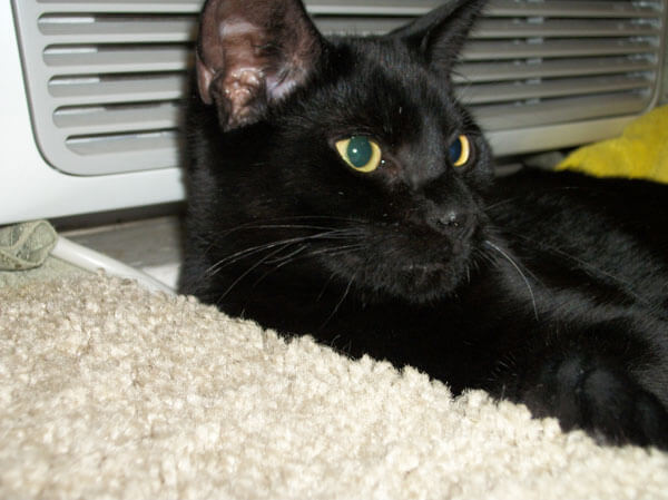 Malice Cat National Black Cat Day