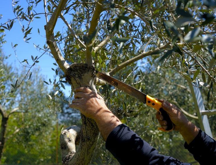 Come e quando potare un olivo? - PG Casa