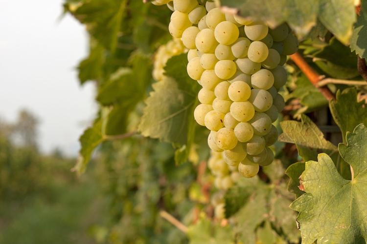 uva-bianca-vite