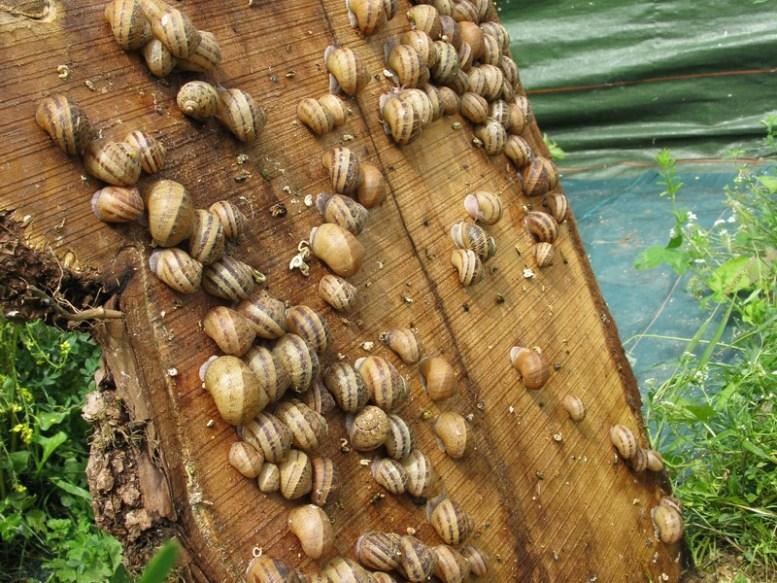 allevamento di lumache
