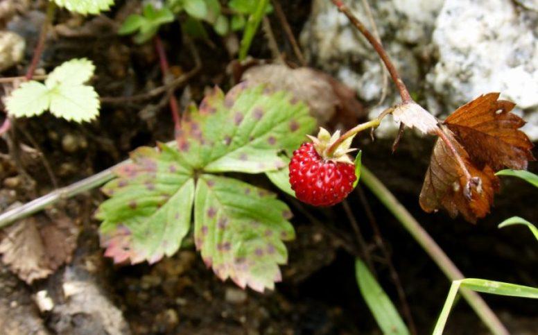 Piante Di Frutti Di Bosco : Avviare una coltivazione di frutti bosco tutto ciò che