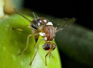 mosca dell'olivo