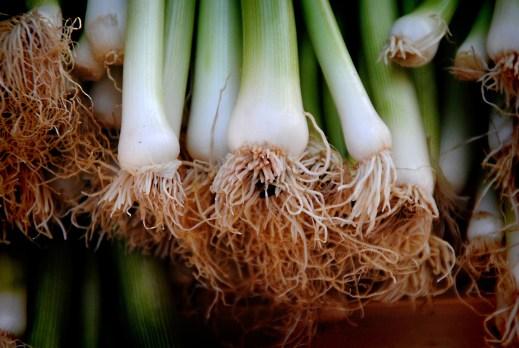 come coltivare la cipolla