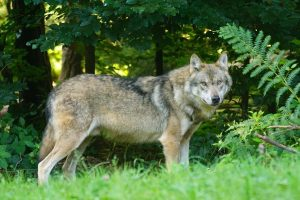 come difendere il gregge dai lupi