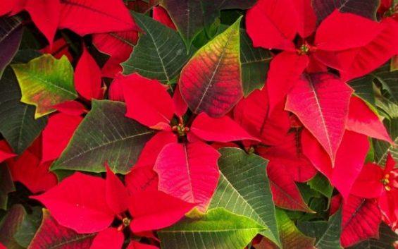 Stella Di Natale Foglie Gialle.Come Coltivare La Stella Di Natale I Segreti Per Mantenerla Bella