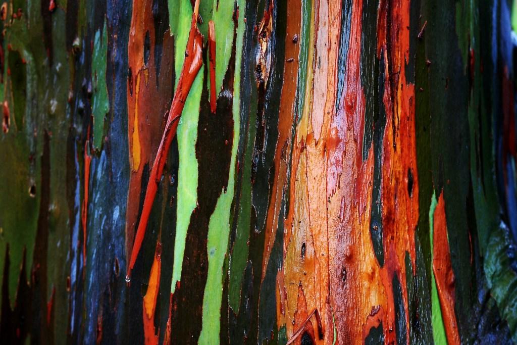 eucalipto arcobaleno
