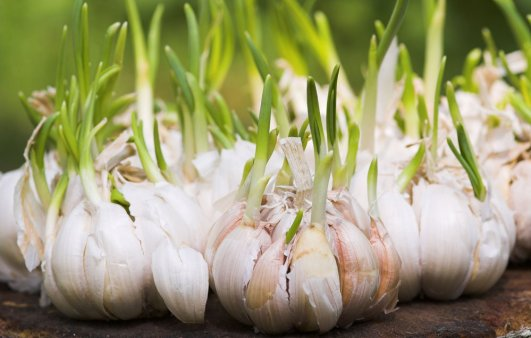 come coltivare l'aglio