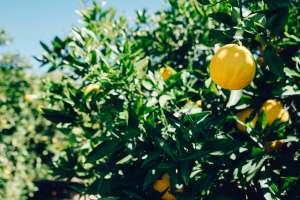 quando e come potare il limone