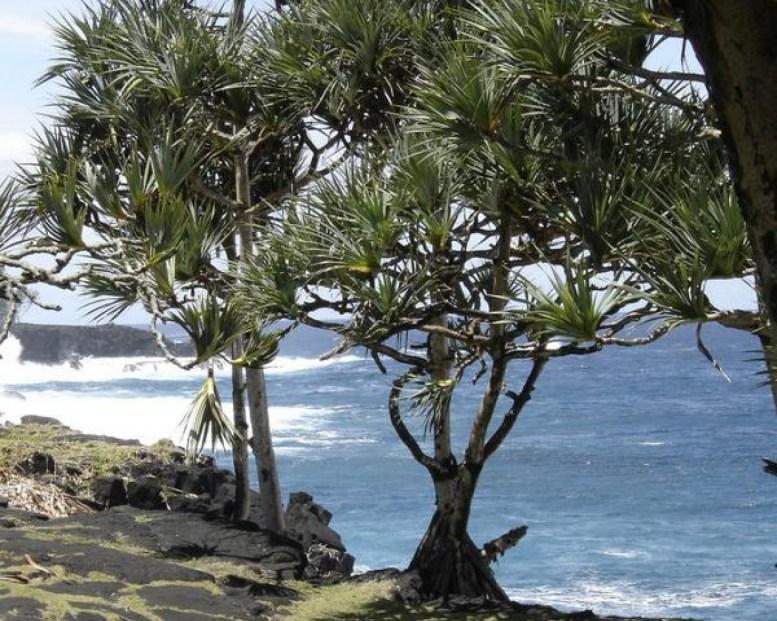 Pandanus Candelabrum, la pianta che cresce sopra i diamanti, ricerca Stephen Haggerty