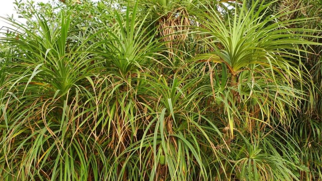 Pandanus Candelabrum, la pianta che scopre i diamanti in Africa Occidentale