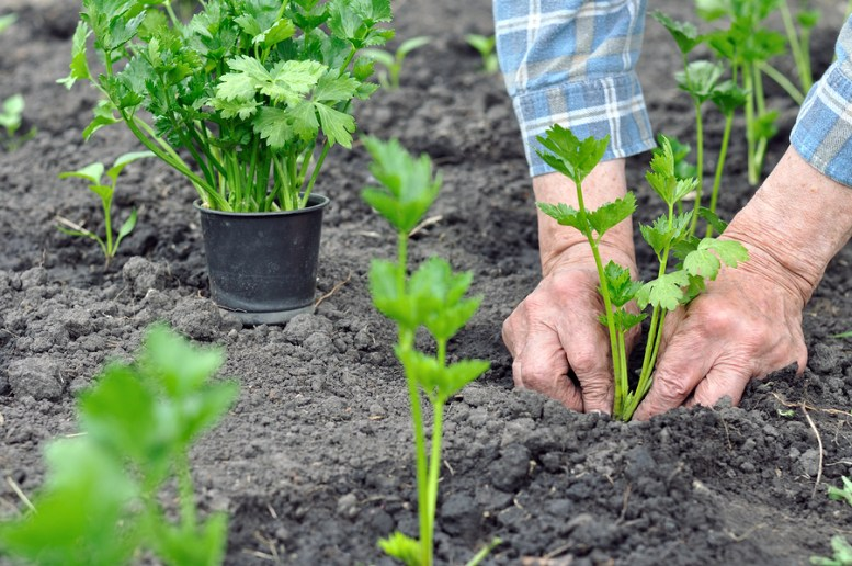 come coltivare il sedano