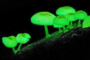 funghi-bioluminescenti