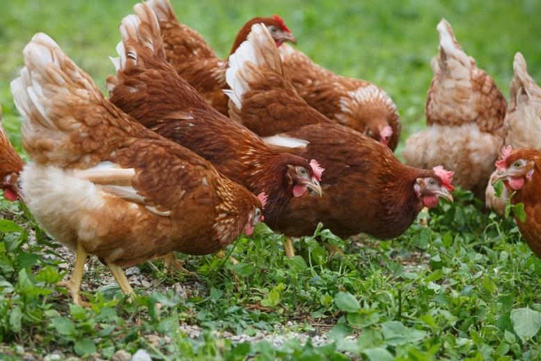 Le migliori galline da uova