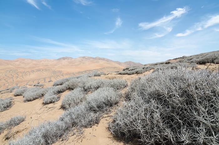 Tillandsia landbeckii nel deserto cileno di Atacama