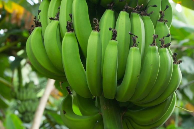 come coltivare la banana