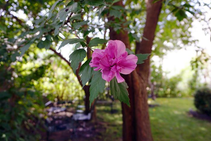 Fiore di Hibiscus della Siria (Hibiscus Syriacus)