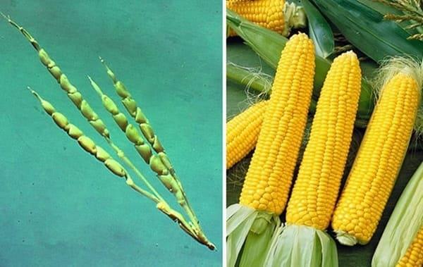 Frutta e verdura - mais selvatico e moderno a confronto