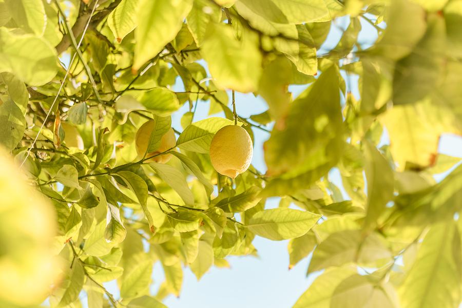 Malattie della pianta di limone quali sono le pi gravi e for Pianta di limone