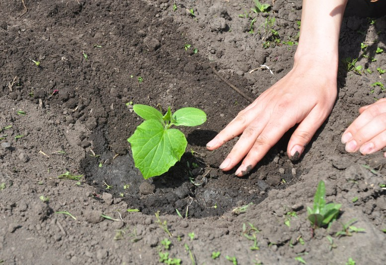 come coltivare i cetrioli