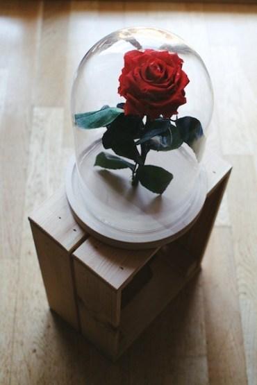 La rosa incantata del cartone u201cla bella e la bestiau201d esiste e vive