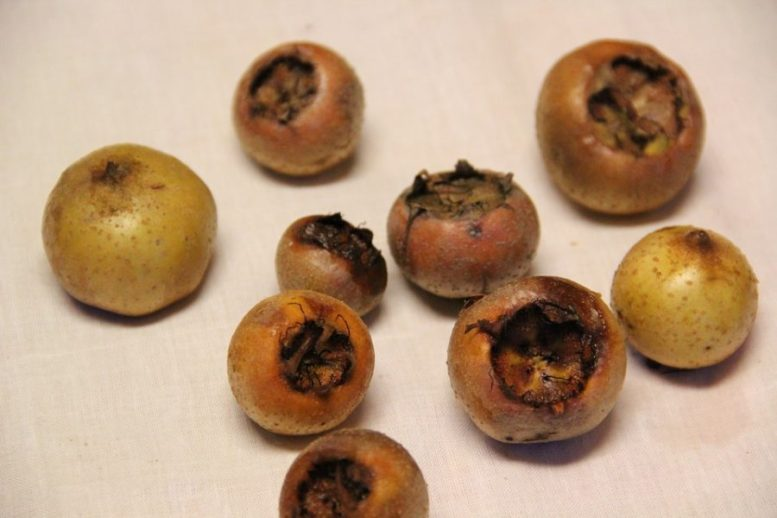 frutti nespolo germanico