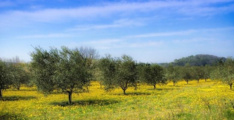 migliorare la produzione di olivo d'oliva