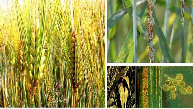 ruggine del grano