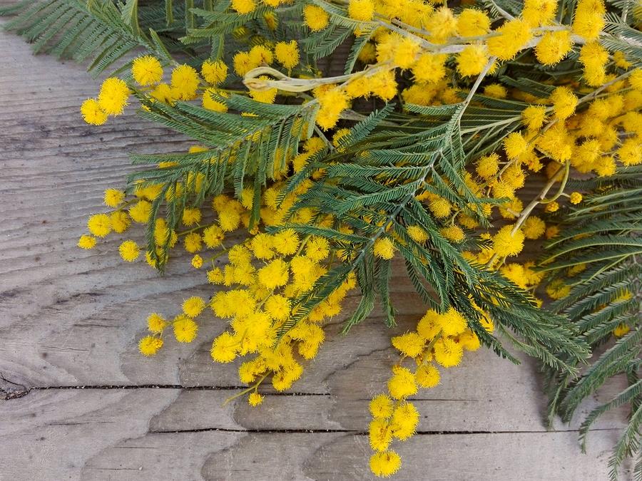 L Albero Di Mimosa Scopriamo Tutto Su Questo Profumato E Colorato