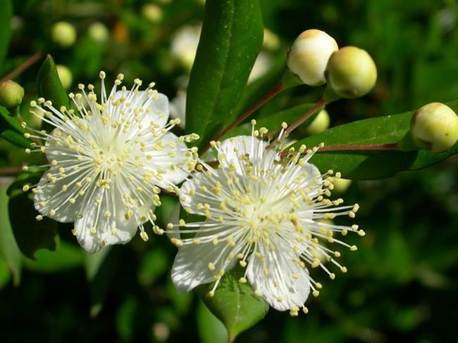 fiori di mirto pianta