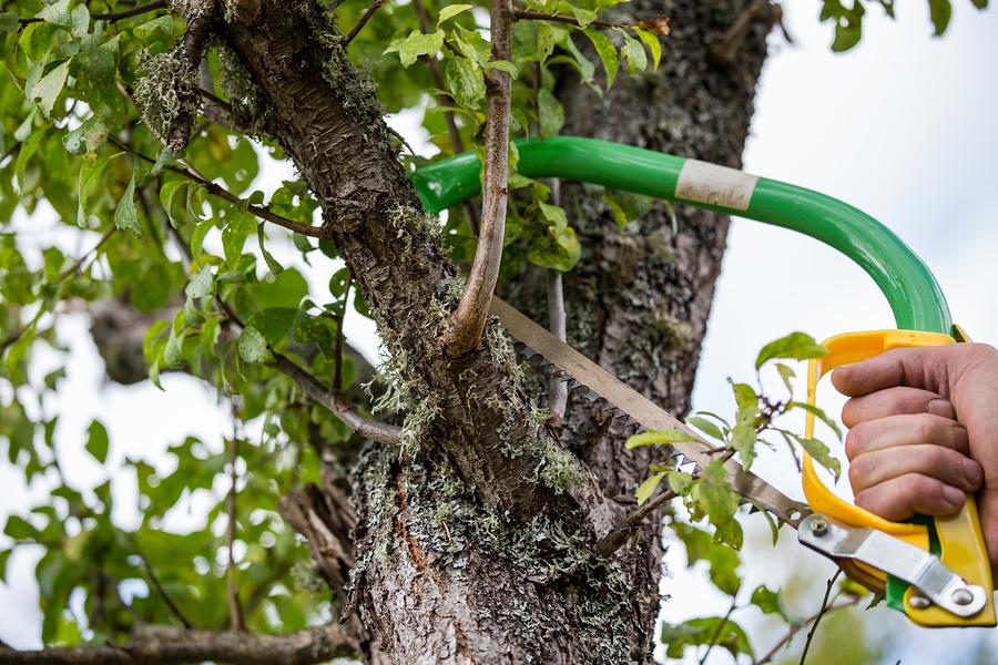 Potatura del pero come effettuarla e quali rami scegliere for Potatura del melo