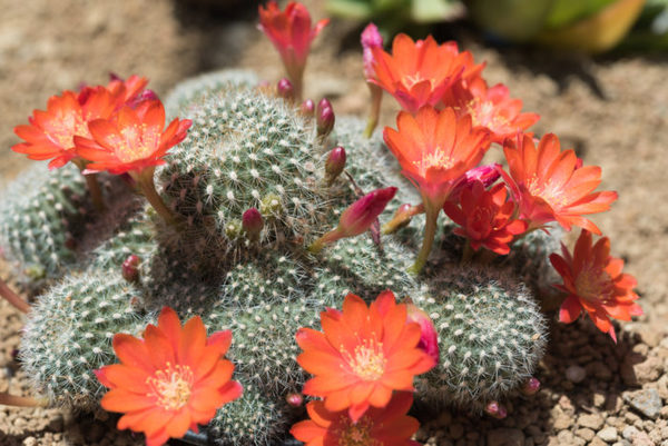pianta grassa con fiori rossi
