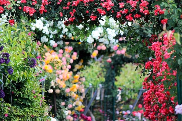 La potatura delle rose