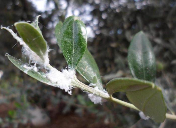 cotonello dell'olivo