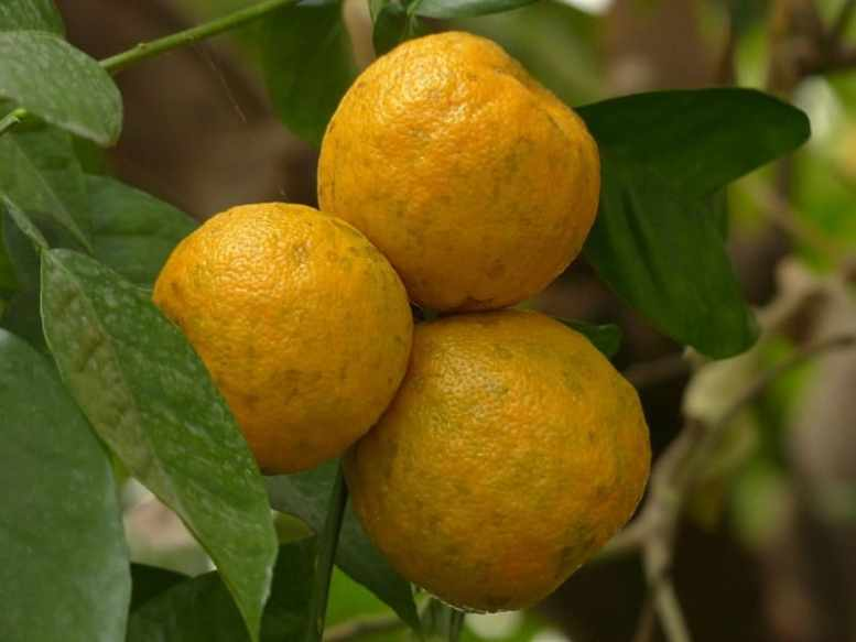 frutti del chinotto