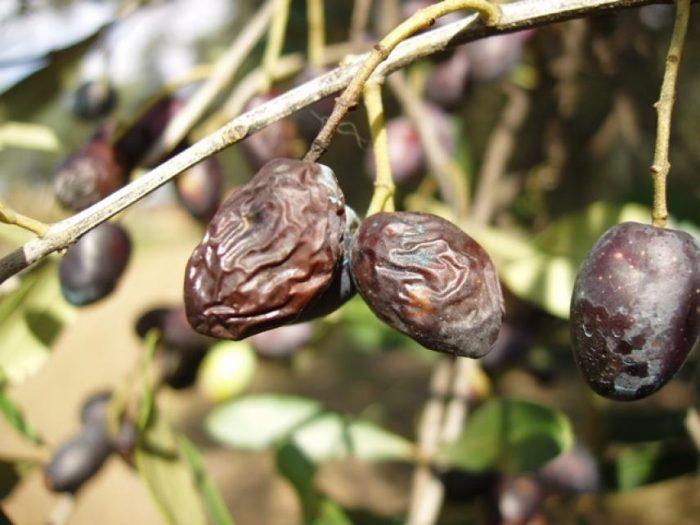 malattie dell'olivo