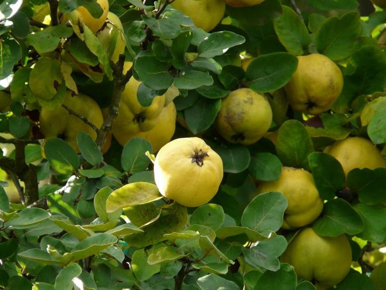 come coltivare la mela cotogna