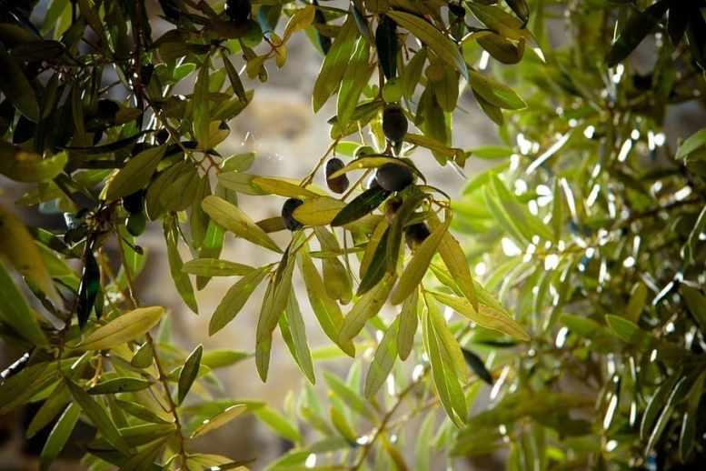 malattia degli ulivi