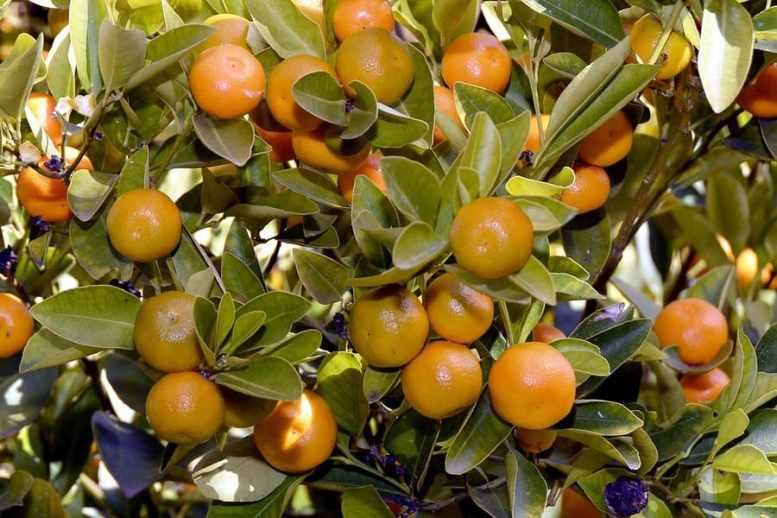 coltivare mandarini