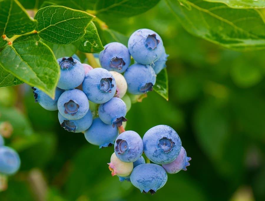 Come avviare una coltivazione di frutti di bosco ...
