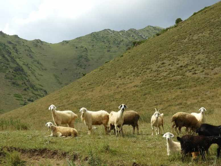 come mangiano capre