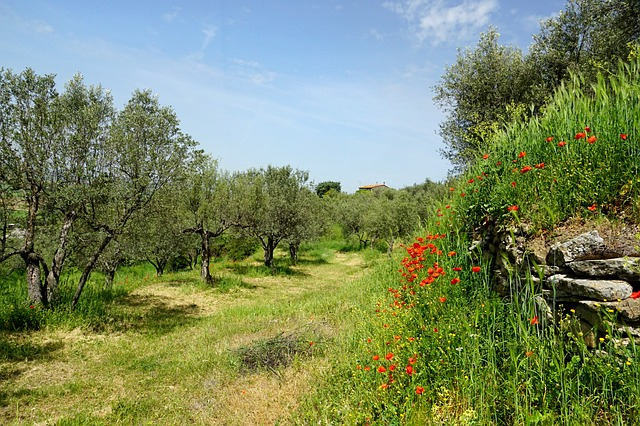 tripide dell'olivo