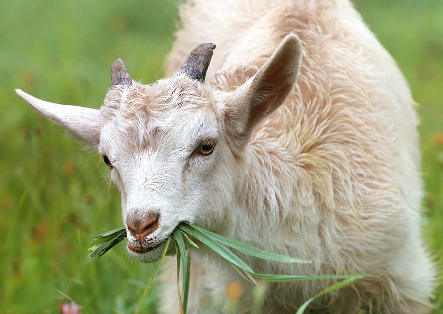 pascolo capre