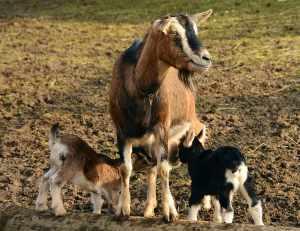riproduzione delle capre