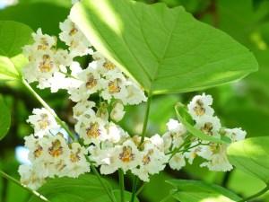 Coltivare il tabacco necessit della pianta tecniche for Coltivare more in vaso