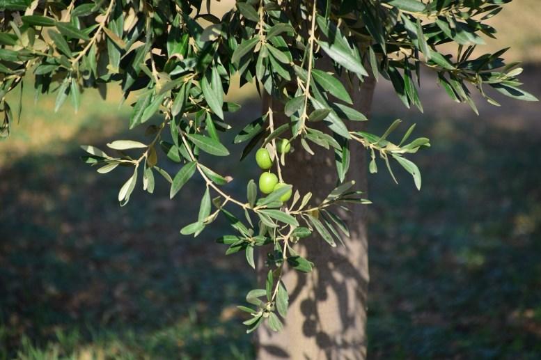 coltivazione ulivo in vaso