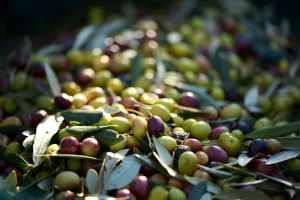spremitura olive