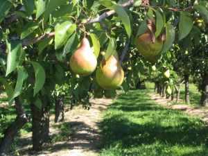 come coltivare alberi frutto