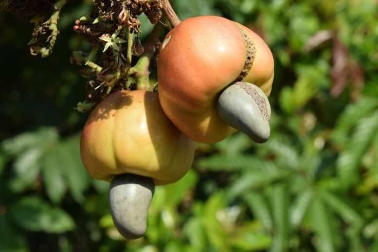 frutti anacardi