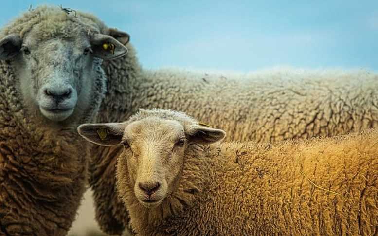 alimentazione pecore