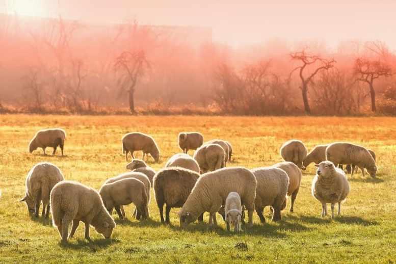 cosa mangiano pecore